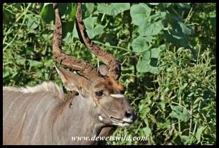 Nyala with muddy horns