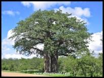 Baobab, Kruger (Pafuri)