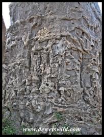 Baobab, Kruger (7)