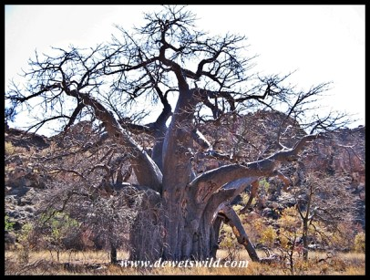 Baobab, Mapungubwe (5)