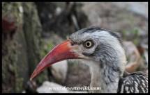 Red-billed hornbill in Orpen