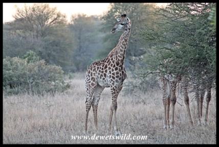 Giraffe youngster