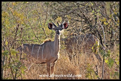 Kudu youngster