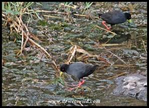 Black crakes at Sweni Hide