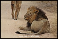 Lions, seen at Olifantsdrinkgat
