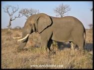 Elephant, H7