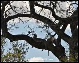 Leopard, S36
