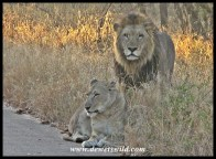 Mating pair of lions on the road to Tshokwane
