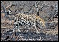 Leopard on the Maroela Loop