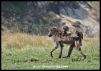 Baboon jockey
