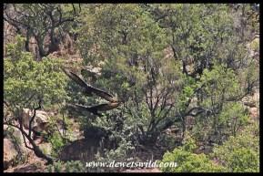 Verreaux's Eagles at Walter Sisulu National Botanical Gardens