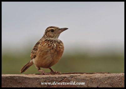 Rufous-naped lark (we think)