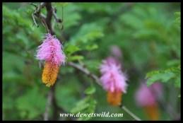 Sickle-bush flowers