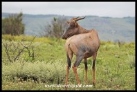 Tsessebe in Ithala Game Reserve