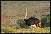 Ostrich male swallowing something large