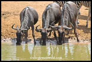 Blue wildebeests slaking their thirst
