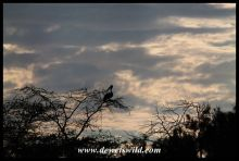 Pink-backed Pelican at dawn
