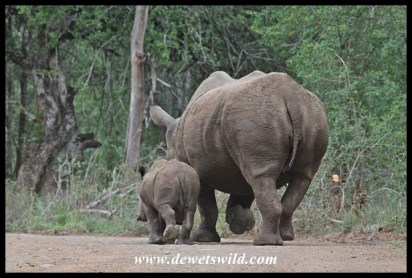 The picture of a well behaved little rhino, staying close to mom...