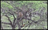 Yes, that's lions hiding in a tree-top!