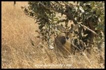 Reedbuck ewe hiding in the shade
