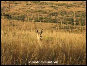 Young reedbuck ram