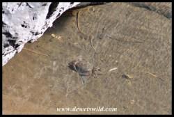 Freshwater crab in mountain stream