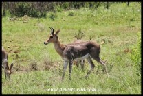 Mountain reedbuck ram