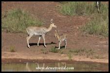 Mountain reedbuck ewe and lamb