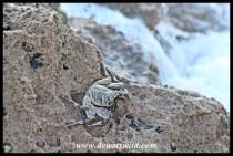 Crab at Mission Rocks