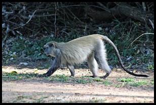Female Samango Monkey