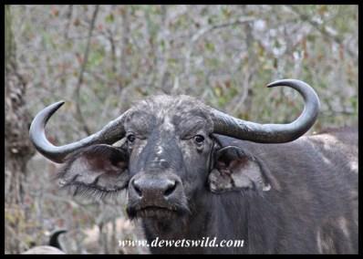 Irritated buffalo cow