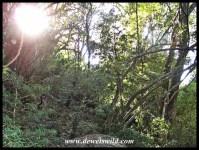 Otto's Walk passes through mature mountain forest
