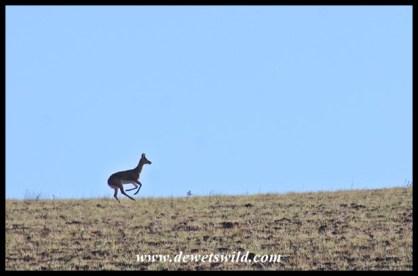 Mountain reedbuck on the run