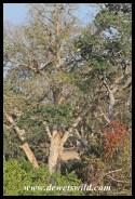 Big trees line the Sweni