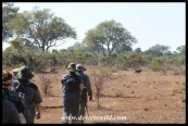 Warthog fleeing from the group