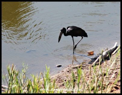 African Open-billed Stork searching for freshwater mussels