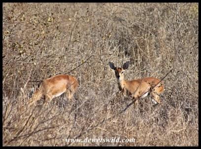Pair of steenbok near base camp