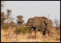 Elephant cows