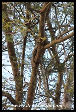 Can you see the hibernating monitor lizard?