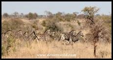 Plains zebras making their escape
