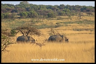 White rhinos in long grass