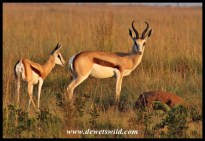 Springbok ram and youngster