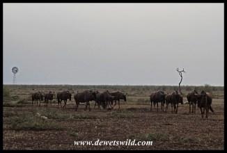 Blue wildebeest marching away from Tinhongonyeni