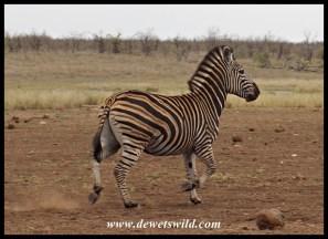 Zebra cantering at Mooiplaas