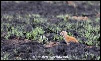Yellow mongoose on burnt veld
