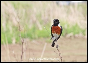 African Stonechat (Male)