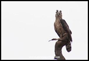 Crowned Eagle