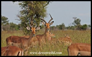 Adult and sub-adult impala rams