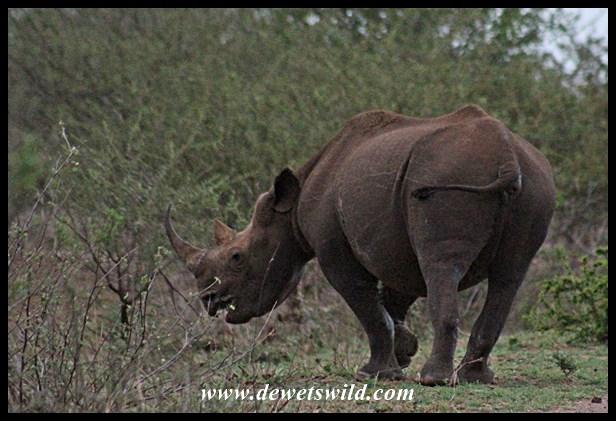 Relaxed Black Rhino