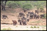 Thirsty herd of elephants rushing to the water